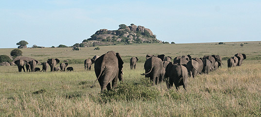 Elephants in the Serengeti National Park