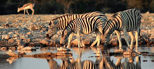 Zebras in the Selous Game Reserve